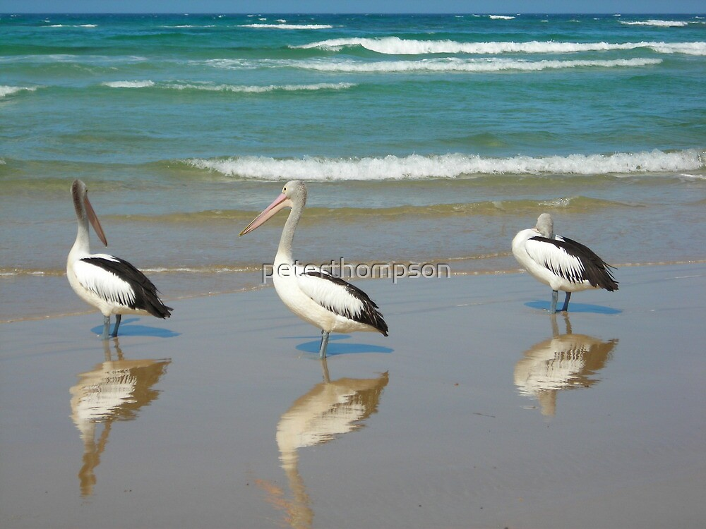 Pelican by peterthompson