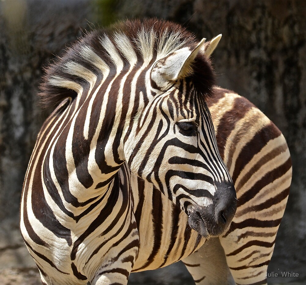 Zebra. by Julie  White