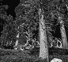 Tahoe Pines Near the top 1 by Jason Franklin