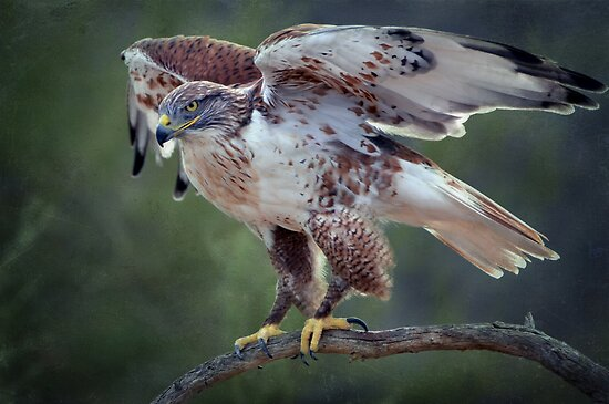 Ferruginous Hawk  by Barbara Manis