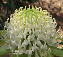 White Waratah by Michael John