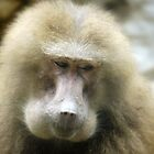 Baboon Beauty (2) by Larry Lingard-Davis