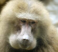 Baboon Beauty (2) by Larry Lingard/Davis