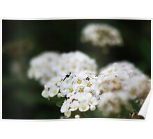 Mosquito on Bridal Wreath Spirea Poster