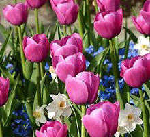 pink tulips, forget-me-nots & narcissus - Butchart Gardens by MischaC