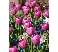 pink tulips, forget-me-nots & narcissus - Butchart Gardens Photographic Print