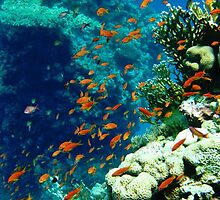 Coral reef in the Red sea in Egypt by nikkihinton