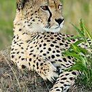 Cheetah Glance by Rhys Herbert