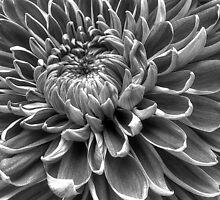 Monotone Macro Mum Bloom by glennc70000