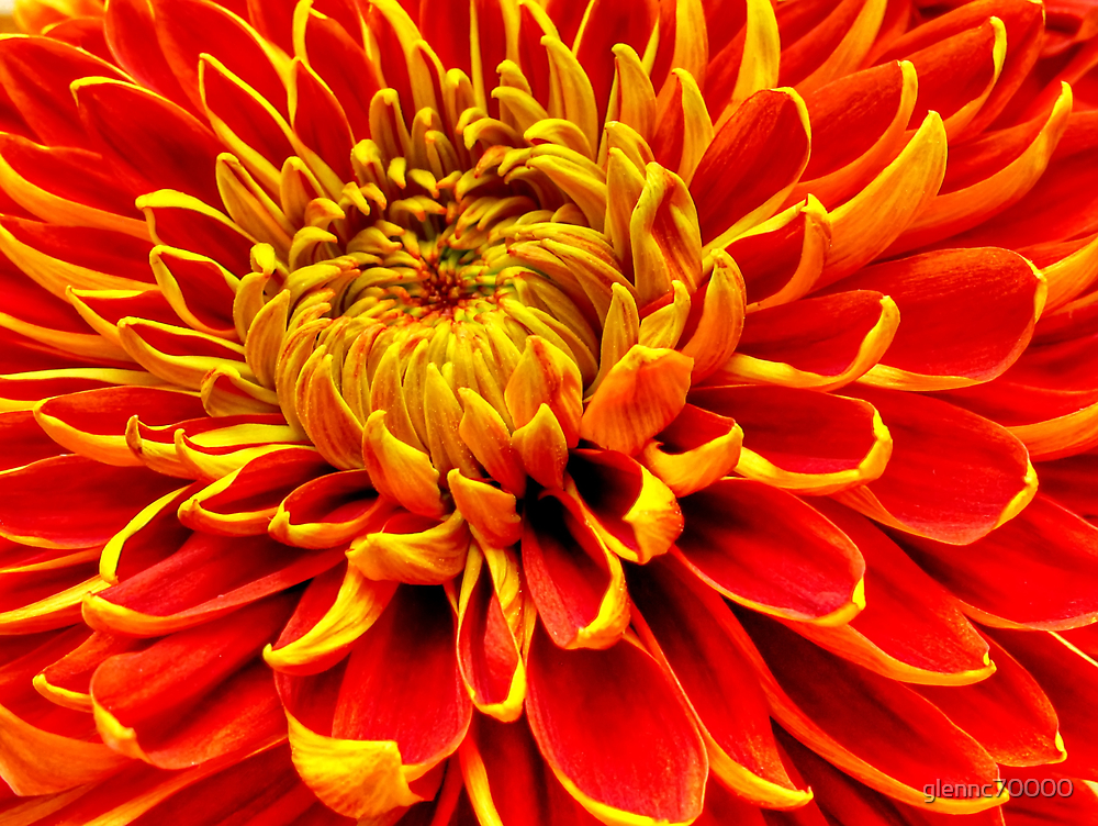 Color Mum Bloom - Macro by Glenn Cecero