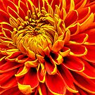 Color Mum Bloom - Macro by glennc70000