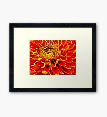 Color Mum Bloom - Macro Framed Print