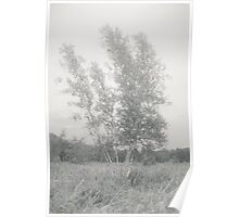 Birch in late summer Kitty Todd Nature Preserve Poster