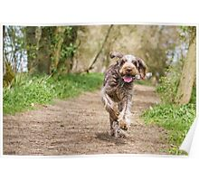 Brown Roan Italian Spinone Dog in Action Poster