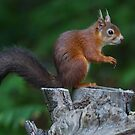 Red Squirrel. by Alan Forder