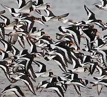 Oystercatcher Flock by Neil Bygrave (NATURELENS)
