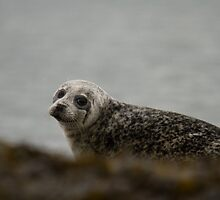 young grey seal by Jon Lees