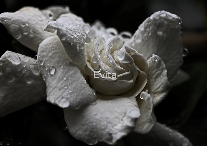 White Gardenia In The Rain by Evita