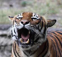 Tiger's Roar by Gail Falcon