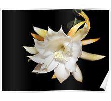 Epiphyllum anguliger  Poster