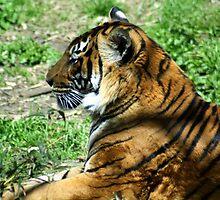 Tiger, Tiger, Burning Bright by CatKV