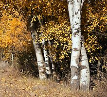 Aspen in Color by Forrest  Ray