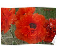 Double Poppies Poster