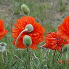 Poppy Panorama by Holly Werner