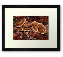 Russet Toughshanks / Collybia dryophila  Framed Print