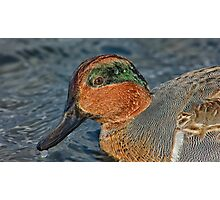 Profile of a wet green winged teal  Photographic Print
