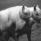 Palomino Haflingers in Black and White by MaryinMaine
