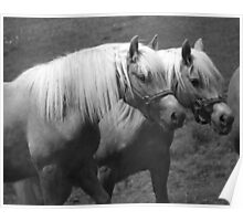 Palomino Haflingers in Black and White Poster
