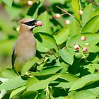 A Cedar Waxwing eating small fruits by EdgarAndre