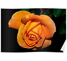 Undeniably orange rose Poster