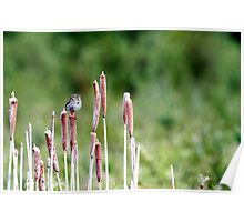 Savannah Sparrow on Rushes Poster