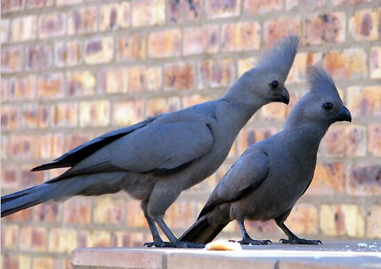 The grey Go-away-bird by Elizabeth Kendall