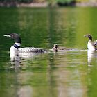 A Loon and her young's on Lake Saint-Charles by EdgarAndre