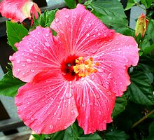 Raindrops on Hibiscus by CatKV