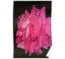 Pink Rose Wendy Cussons  With Raindrops Poster