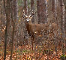 In the Stillness of the Woods - White-tailed Deer by Jim Cumming