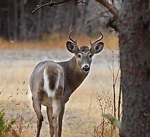 Gotcha! - White-tailed Deer by Jim Cumming