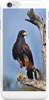 Harris Hawk iPhone Case by Barbara Manis