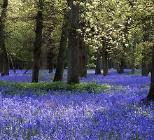 Henley Bluebell Woods by Photokes