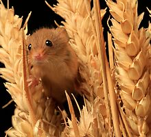 Field Mouse by nikkihinton