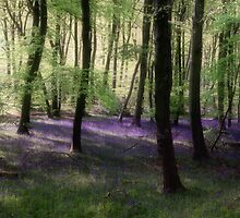 Bluebell Morning Woodlands by Photokes