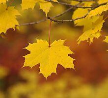 Autumn Leaf by Photokes