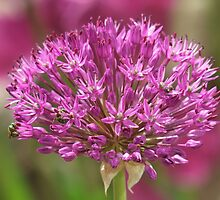 Ornamental Onion by Tracy Faught