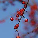 Dogwood Berries by Robin Black