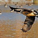 Flying Goose by Robin Black