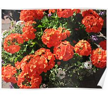 Glorious Geraniums Poster